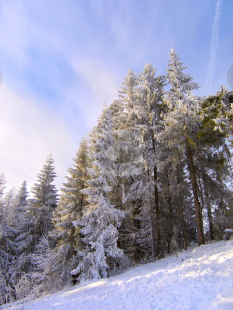 Spruce trees covered by snow  stock photo, Winter landscape - coniferous forest on the hillside by Olga Lipatova