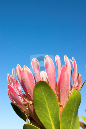 Protea1 stock photo, Pink Protea on the blue sky background. Copy space above the flower. by Elena Weber (nee Talberg)