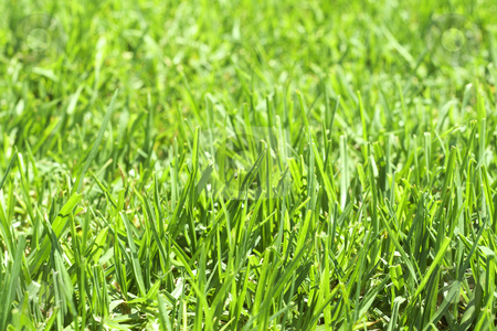 Green grass close-up stock photo, Green grass close-up. Can be used as background by Elena Weber (nee Talberg)