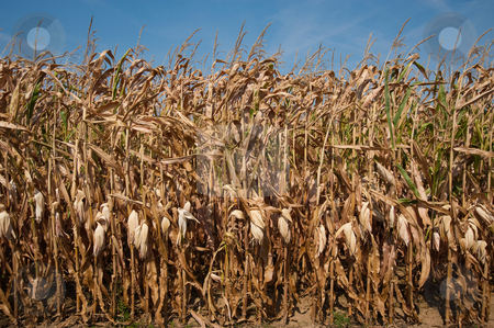 Corn stalks stock photo, Field of dried corn stalks by Jaime Pharr