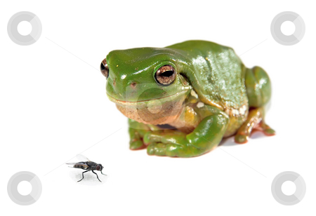 Green tree frog and a fly stock photo, Litoria caerula - green tree frog on white looks a fly by Phil Morley