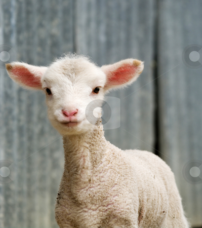 Young lamb on the farm stock photo, Great image of a young lamb on the farm by Phil Morley