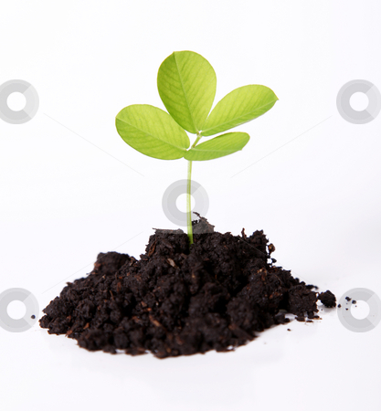 Green stock photo, A small plant sown, Isolated and natural image by Giuseppe Ramos
