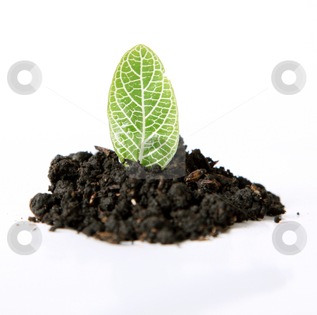 Leaf stock photo, A leaf sown over white background. Nature image by Giuseppe Ramos