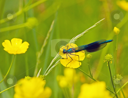 Banded Demoiselle stock photo, Male Banded Demoiselle in meadow with yellow flowers by Susan Robinson