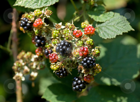 Blackberries stock photo, Ripening Blackberries in hedgerow with mature fruit and flowers by Susan Robinson