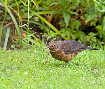 Common Blackbird female with worm stock photo, Female European Common Blackbird with Worm by Susan Robinson