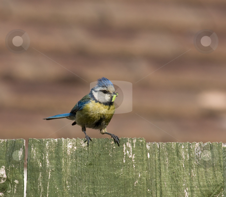 Blue Tit and caterpillar stock photo, Blue Tit and caterpillar for young chicks in nest by Susan Robinson