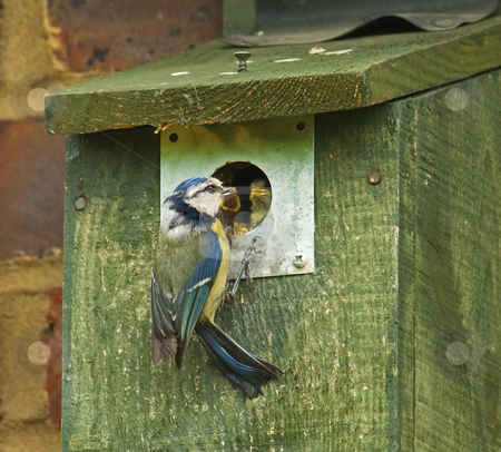 Blue Titi Family stock photo, Blue Tit adult with chicks in nesting box by Susan Robinson