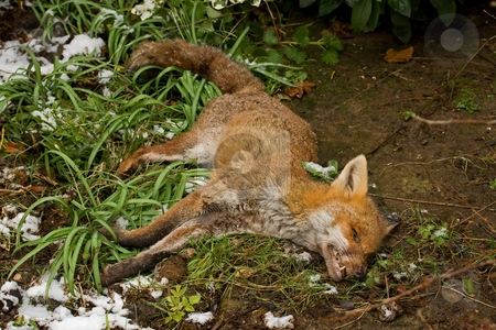 Dead Fox stock photo, Dead Fox in English garden after dying from suspected poisoning by Susan Robinson