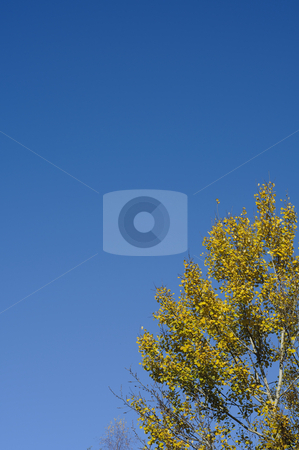 Treetop in Autumn against the clear blue sky stock photo, The top of a birch tree against the clear blue sky during a sunny Autumn day. Photo taken on the 11th of November, 2009. by Alessandro Rizzolli