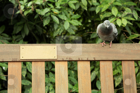 London#7 stock photo, Dove sitting on a park bench.  Shallow D.O.F.  Copy space. by Sean Nel