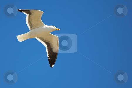 Seagull #17 stock photo, Cape Gull (Larus Vetula) soaring, sun shining through feathers - Copy Space by Sean Nel