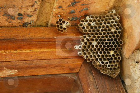 Wasps nest stock photo, Wasps nest in a window pane by Sean Nel
