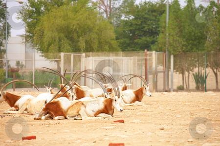 Oryx in Zoo stock photo, Herd of Oryx in a zoo in Qatar by Sean Nel