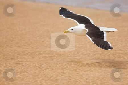 Seagull #6 stock photo, Cape Gull (Larus Vetula) soaring over a beach - Copy Space by Sean Nel