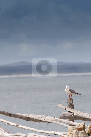 Bird #4 stock photo, Seagull sitting on wooden post - copy space by Sean Nel