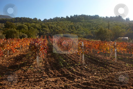 Rural autumn vineyard stock photo, Small rural vineyard in the small town of Kirazli, Aydin in Turkey. Freshly plowed during sunny autumn weather. by Sean Nel