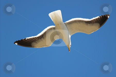 Seagull #21 stock photo, Cape Gull (Larus Vetula) soaring, sun shining through feathers by Sean Nel