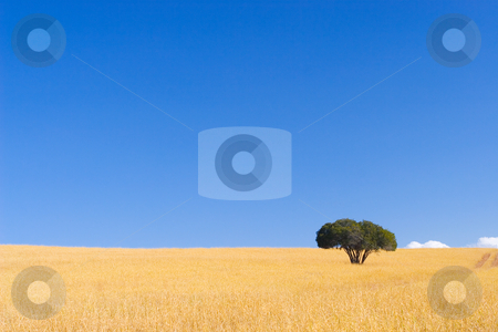 Cape Trees #2 stock photo, Single green tree in dry yellow grass with blue sky by Sean Nel