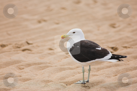 Seagull #9 stock photo, Cape Gull (Larus Vetula) standing on a beach - Copy Space by Sean Nel