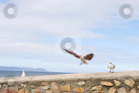 Bird #5 stock photo, Seagull sitting stone wall - copy space by Sean Nel
