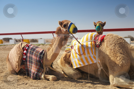 Robot camel racing stock photo, Robot controlled camel racing in the desert of Qatar, Middle East, on a sunny day. Racing camels warming up in the morning sun on the Racetrack by Sean Nel