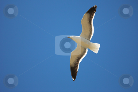 Seagull #16 stock photo, Cape Gull (Larus Vetula) soaring, sun shining through feathers - Copy Space by Sean Nel