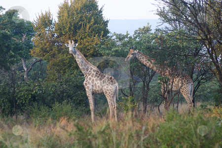 Two giraffes stock photo, Two giraffe standing between the trees by Sean Nel