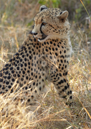 Cheetah hunting stock photo, Young cheetah on the hunt in the african bush by Sean Nel