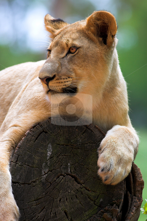 White Lion on a tree stump stock photo, Lioness (Panthera Leo) lying down in a tree, South Africa by Sean Nel