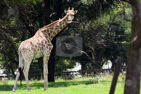Giraffe #5 stock photo, Watchful Giraffe eating leaves from the trees by Sean Nel