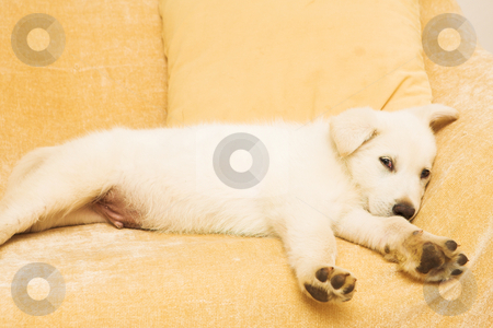Puppy #1 stock photo, Small puppy lying on a beige couch by Sean Nel