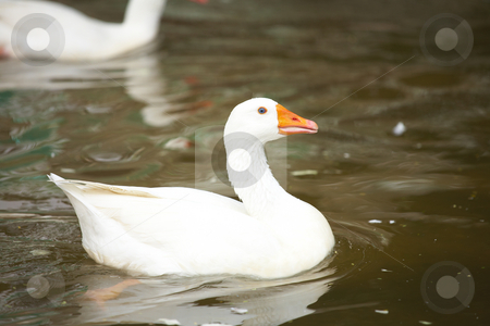 White goose swimming stock photo, White goose swimming in a pond by Sean Nel