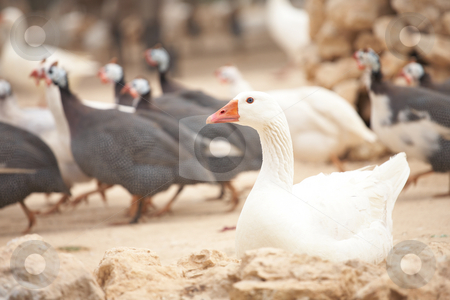 White goose stock photo, White goose sitting on the ground in front of other running fowl by Sean Nel