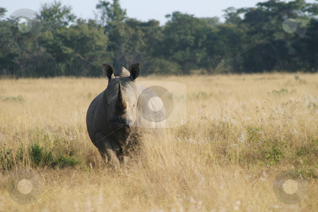 Rhino staring stock photo, Staring Rhinoceros by Sean Nel