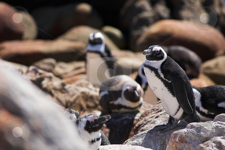 Jackass Penguin #15 stock photo, Jackass Penguins (Spheniscus demersus) from Stoney Point, Western Cape, South Africa - Eyes Open by Sean Nel