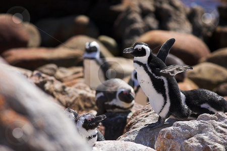 Jackass Penguin #12 stock photo, Jackass Penguins (Spheniscus demersus) from Stoney Point, Western Cape, South Africa by Sean Nel