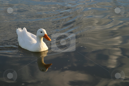White duck stock photo, White duck swimming in a pond by Sean Nel