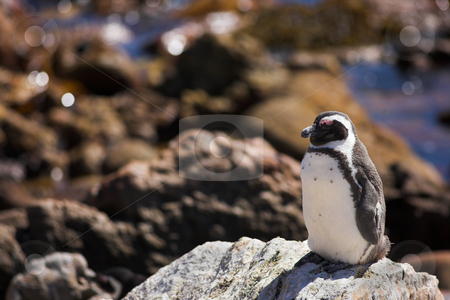 Jackass Penguin #4 stock photo, Jackass Penguins (Spheniscus demersus) from Stoney Point, Western Cape, South Africa by Sean Nel