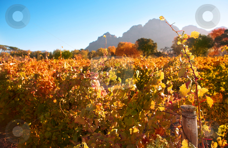 Autumn in the vineyards stock photo, Autumn leaves on the vines in the vineyards at Boschendal, Western Cape, South Africa. Shallow Depth of Field. Focus on single vine in the foreground by Sean Nel