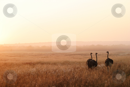 Three Ostriches stock photo, Three ostriches warming up in the first sun by Sean Nel