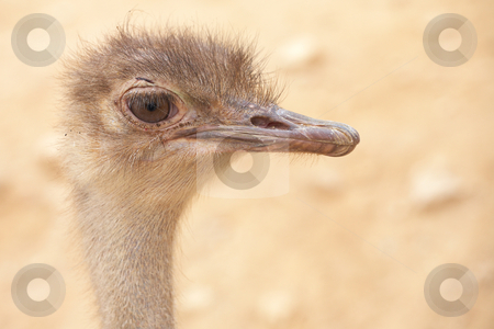 Ostrich stock photo, Portrait of a scruffy male ostrich with copy space. Shallow Depth of Field by Sean Nel