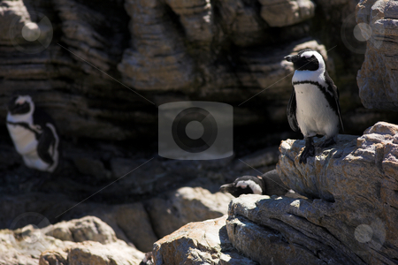 Jackass Penguins on the rocks stock photo, Jackass Penguins (Spheniscus demersus) from Stoney Point, Western Cape, South Africa by Sean Nel