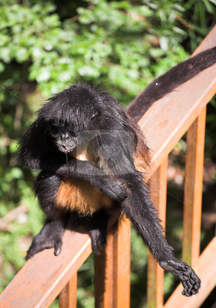 Black hairy monkey stock photo, Black hairy monkey at monkey world in South Africa by Sean Nel