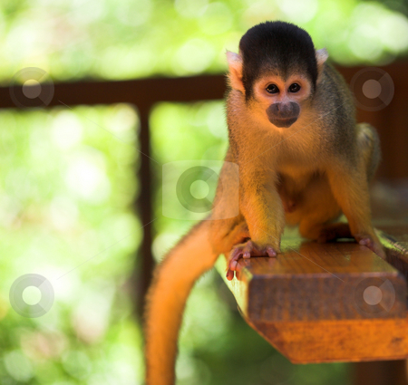 Cute squirrel monkey stock photo, Cute squirrel monkey (Saimiri) at monkey world in South Africa by Sean Nel