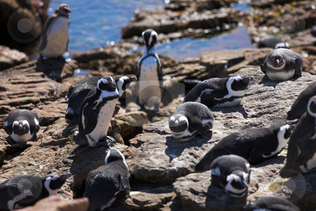 Jackass Penguin #9 stock photo, Jackass Penguins (Spheniscus demersus) from Stoney Point, Western Cape, South Africa by Sean Nel