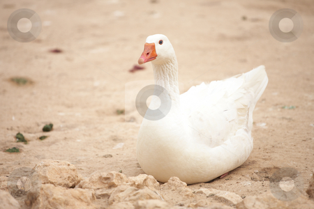 White goose stock photo, White goose sitting on the ground by Sean Nel
