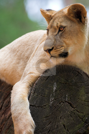 White Lion #6 stock photo, Lioness (Panthera Leo) lying down in a tree, South Africa by Sean Nel