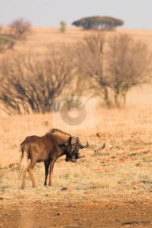 Wildebeest #2 stock photo, Black wildebeest grazing in the veldt  by Sean Nel